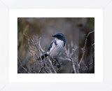 Scrub Jay  (Framed) -  Art Wolfe - McGaw Graphics