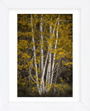 Aspens (Framed) -  David Lorenz Winston - McGaw Graphics