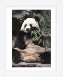 Giant Panda (Framed) -  Art Wolfe - McGaw Graphics