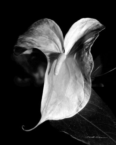 Harold Silverman - Anthurium