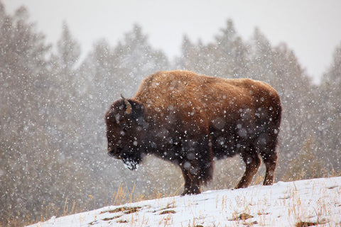Bison in Snow -  Jason Savage - McGaw Graphics