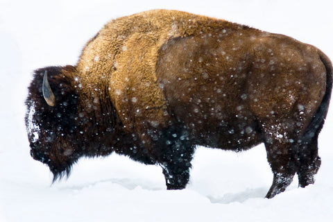 Winter Bison -  Jason Savage - McGaw Graphics