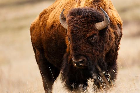 Montana Bison -  Jason Savage - McGaw Graphics