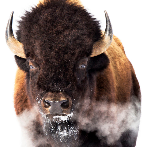 Yellowstone Bison -  Jason Savage - McGaw Graphics