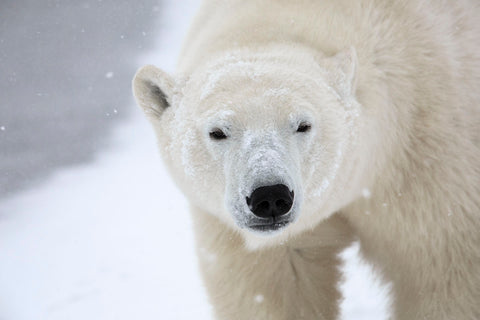 Polar Bear -  Jason Savage - McGaw Graphics