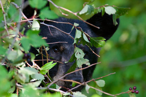 Jason Savage - Glacier National Park Black Bear