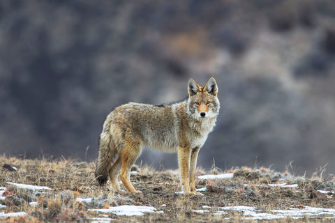 Yellowstone Coyote -  Jason Savage - McGaw Graphics