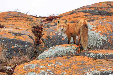 Jason Savage - Churchill Red Fox