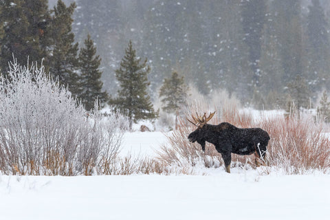 Yellowstone Moose -  Jason Savage - McGaw Graphics