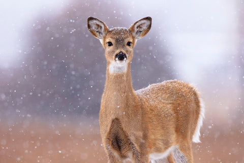 Winter White-tailed Deer -  Jason Savage - McGaw Graphics
