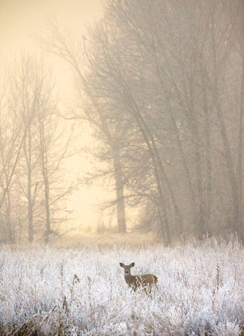 White-tailed Deer in Fog -  Jason Savage - McGaw Graphics