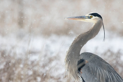 Jason Savage - Great Blue Heron