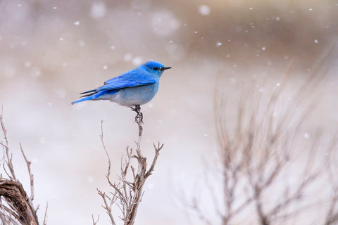 Yellowstone Bluebird -  Jason Savage - McGaw Graphics