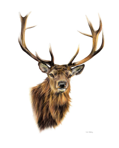 Stag White Background -  Sarah Stribbling - McGaw Graphics