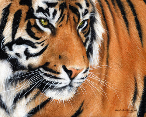 Sarah Stribbling - Tiger Crop