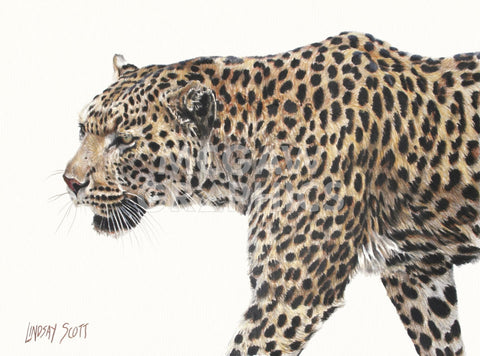 Passing Leopard -  Lindsay Scott - McGaw Graphics
