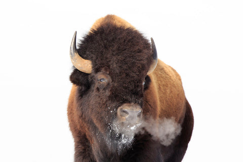 Winter Bison, Yellowstone -  Jason Savage - McGaw Graphics