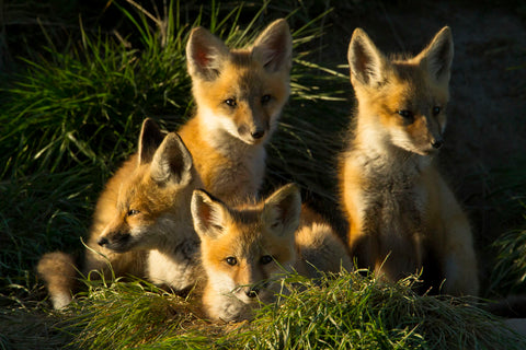 Jason Savage - Red Fox Kits