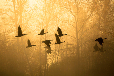 Geese in the Mist -  Jason Savage - McGaw Graphics