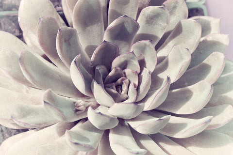 Pale Succulent -  Judy Stalus - McGaw Graphics