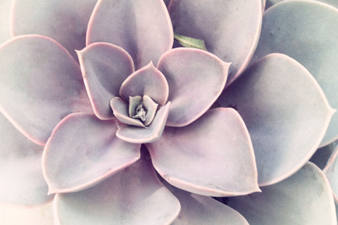Purple Succulent -  Judy Stalus - McGaw Graphics