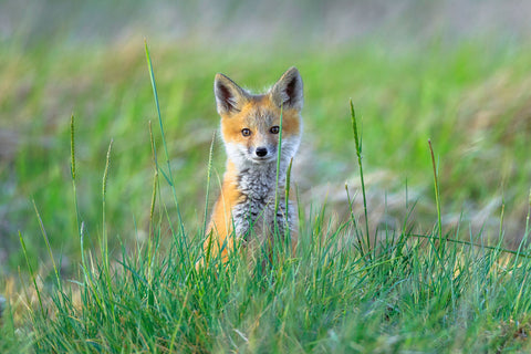 Jason Savage - Red Fox Kit