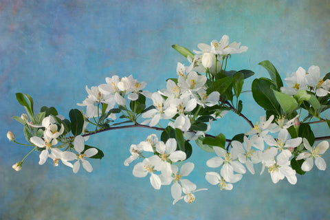 White Blossoms -  Judy Stalus - McGaw Graphics