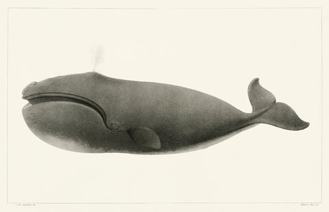 North Pacific Right Whale, 1872 - McGaw Graphics