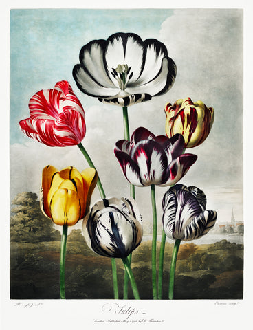 Tulips, 1807 - McGaw Graphics