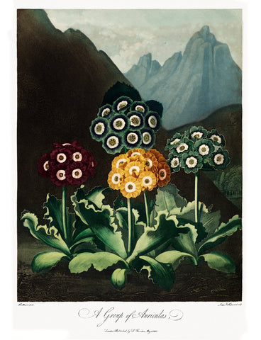 A Group of Auriculas, 1807