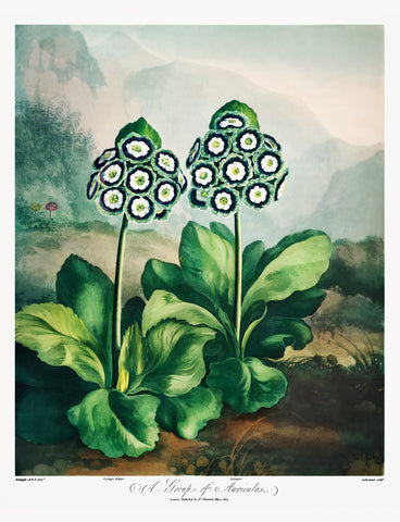 A Group of Auriculas II, 1807