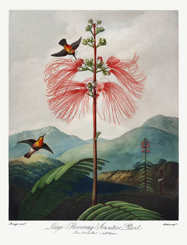 Large-Flowering Sensitive Plant, 1807