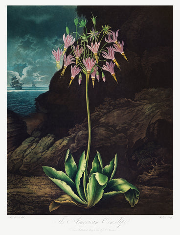 The American Cowslip, 1807 - McGaw Graphics