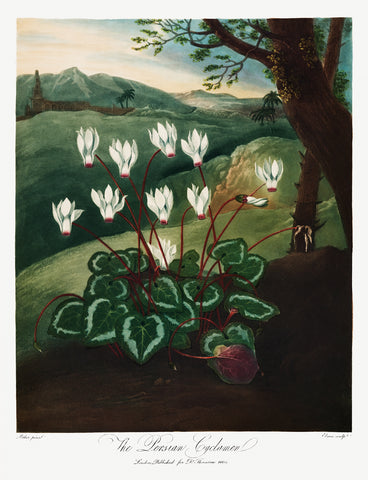 The Persian Cyclamen, 1807 - McGaw Graphics