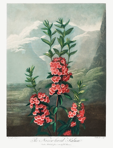 The Narrow-Leaved Kalmia, 1807 - McGaw Graphics