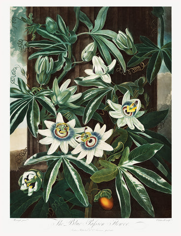 The Passiflora Cerulea, 1807 - McGaw Graphics