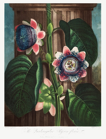 The Quadrangular Passion Flower, 1807 - McGaw Graphics