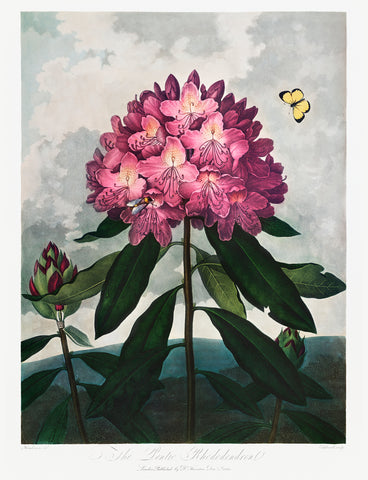 The Pontic Rhododendron, 1807 - McGaw Graphics