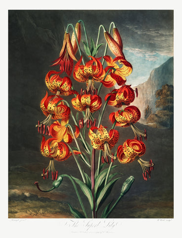 The Superb Lily, 1807 - McGaw Graphics