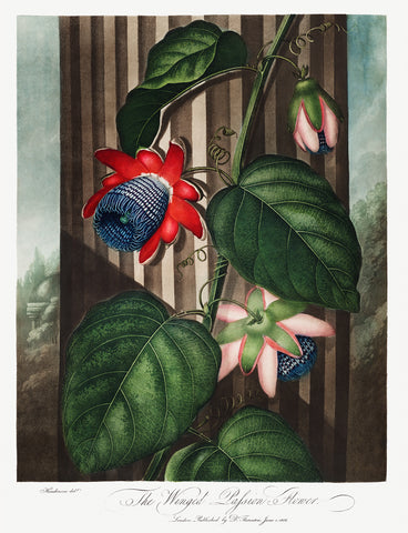 The Winged Passion-Flower, 1807 - McGaw Graphics