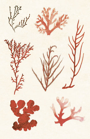 Vintage Reproduction - Algae 8
