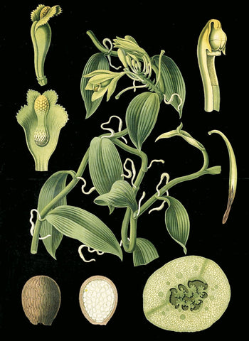 Vintage Reproduction - German Educational Plate: Vanilla plantifolia Andrews