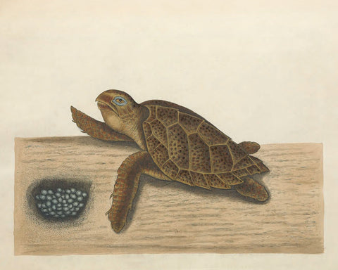 Turtle (T. 39) -  Vintage Reproduction - McGaw Graphics