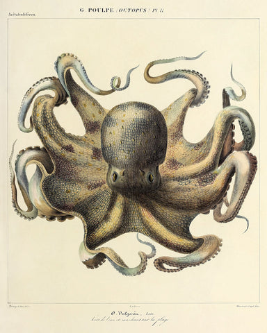 Octopus (Pl. 11) -  Vintage Reproduction - McGaw Graphics