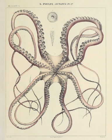 Octopus (Pl. 27) -  Vintage Reproduction - McGaw Graphics