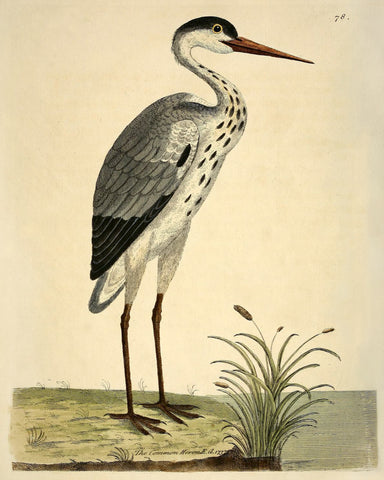 The Common Heron (No. LXXVIII) -  Vintage Reproduction - McGaw Graphics