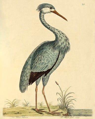 The Blue Heron (No. LXXIX) -  Vintage Reproduction - McGaw Graphics