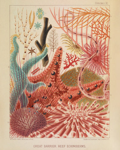Great Barrier Reef Echinoderms (Chromo XI) -  Vintage Reproduction - McGaw Graphics