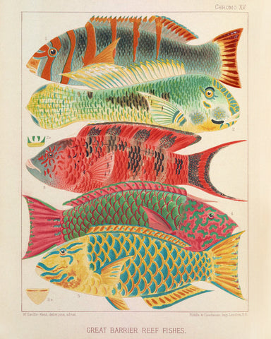 Great Barrier Reef Fishes I (Chromo XV) -  Vintage Reproduction - McGaw Graphics
