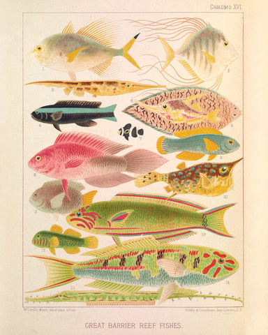 Great Barrier Reef Fishes II (Chromo XVI) -  Vintage Reproduction - McGaw Graphics